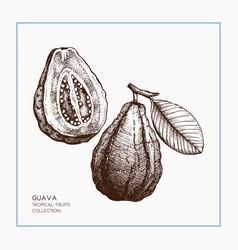 Guava hand drawn vector
