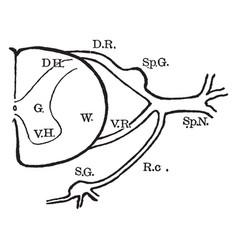 Spinal nerve roots vintage vector