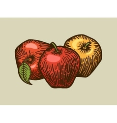 Apples engraving style vector