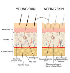Young and older skin vector