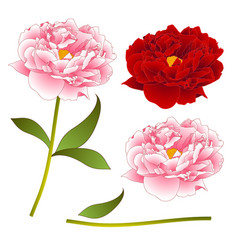 pink and red peony flower isolated on white vector image vector image