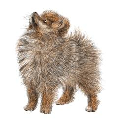 Pomeranian 01 vector