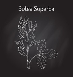 butea superba asian vining shrub vector image