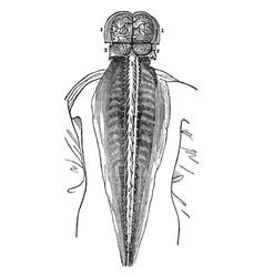 Spinal marrow vintage vector