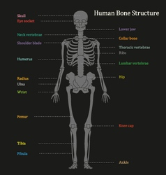 Human Bone Structure Diagram vector image