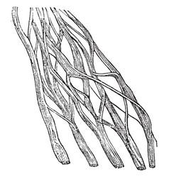 Nerve portion vintage vector