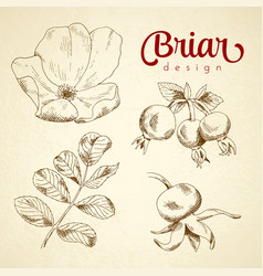 Set of sketch briar flower berry and leaf vector