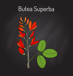 Butea superba asian vining shrub vector