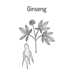 Ginseng - medicinal plant vector