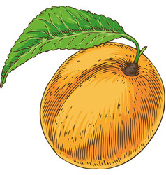 Ripe apricot with green leaf vector