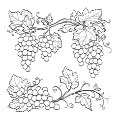 skatch of grape branches vector image vector image