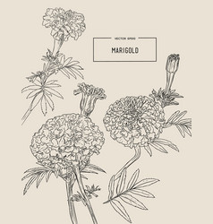 orange marigolds hand draw sketch vector image