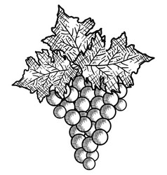 best wine grapes fruit vector image vector image