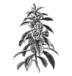 Garden Balsam vintage engraving vector image vector image