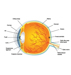 Anatomic structure of human eye vector