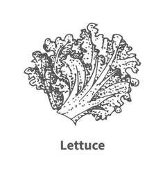 Hand-drawn lettuce vector