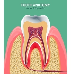 Teeth anatomy vector