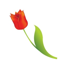 Red tulip vector