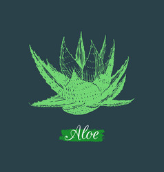 Aloe isolated hand drawn vector