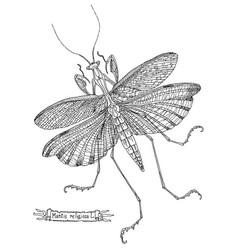 Drawing mantis vector
