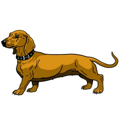 brown dachshund vector image