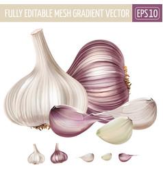 Garlic on white background vector
