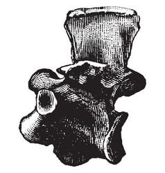 Hesperornis vertebrae vintage vector