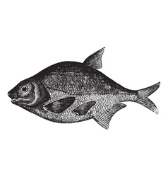 freshwater fish engraving vector image