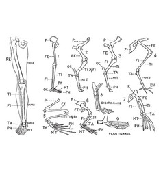 human leg front view and comparative diagrams vector image