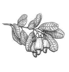 Ink sketch of cashew branch vector