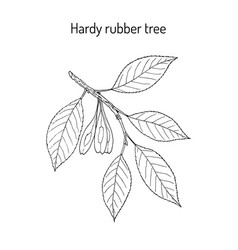 hardy rubber tree eucommia ulmoides medicinal vector image