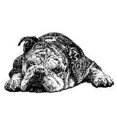 Bulldog 04 vector image vector image