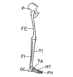 Human leg side view vintage vector