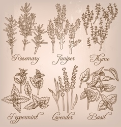 Set of essential herbs vector