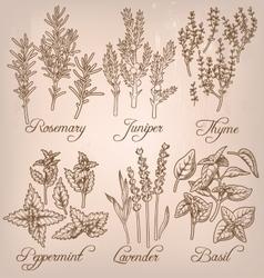 Set of essential herbs vector image