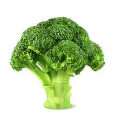Fresh green broccoli vector