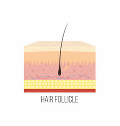 Hair follicle human skin layers with hair vector