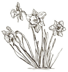 Hand Drawn Daffodil Sketch vector image