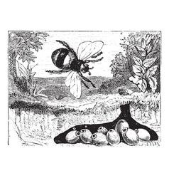bumblebee vintage engraving vector image vector image