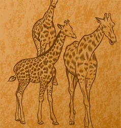 Three giraffes vector
