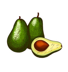 avocado tropical exotic fruit sketch icon vector image