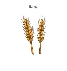 Hand drawn barley ears sketc vector