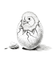Chick hatched from eggs vector