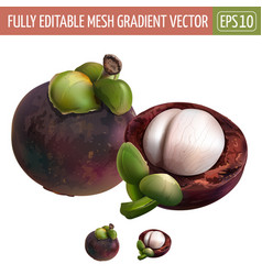 Mangosteen on white background vector