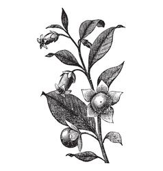 Belladona vintage engraving vector image