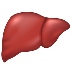 Liver of healthy person vector