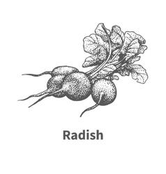 hand-drawn radish vector image