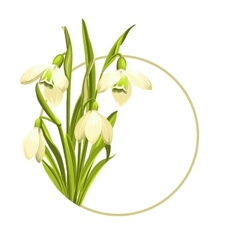 Snowdrop flowers vector image