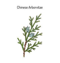 Chinese arborvitae thuja orientalis medicinal vector