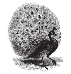 Peacock vintage vector